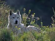 Lazy Wolfy