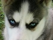 Ryker the rescue Husky puppy