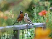 Leucistic robin fledglings