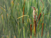 Least Bittern sticking neck out