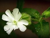 Rain and Flower