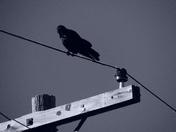 Crow Noire