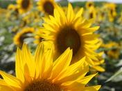Badger Creek Sunflowers
