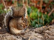 Gray Squirrel feeding