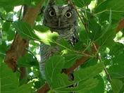 Young owl in our back yard