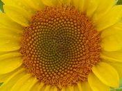 Saturday Morning Sunflowers