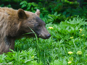 Black Bear and wildflowers