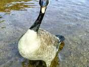 happy goose!