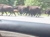 Bison on the loose!