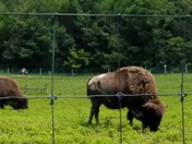 Bison at Big Bone Lick State Park