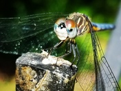 Dragonfly with incredible eyes!