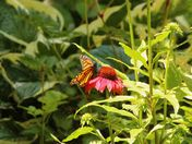 Sunlit Monarch butterfly on a flower