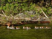 Red-breasted Merganser Family 1