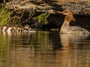 Red-breasted Merganser Female And Young 1