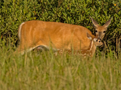 Whitetail Doe And Fawn 1