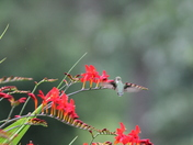 Hummingbirds in Pepperell