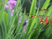 Hummingbirds in Pepperell