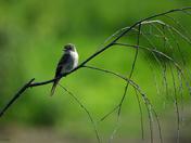 Alder Flycatcher