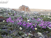 Arctic Oxytrope (Oxytropis arctica) in full bloom near Cambridge BayArctic Oxytr