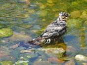 Hawk Takes a Dip