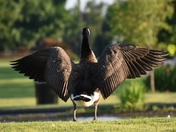Goose at Orchards Park