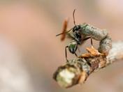 Stick Caterpillar fighting an ant
