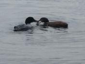 Loon feeding