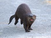 Obnoxious Otter