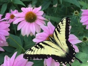 Swallowtail & coneflowers