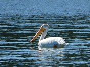 Pelican chilling on the lake