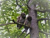 Owl in Sebago
