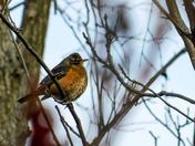 Puffed Up Robin