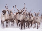 1a. Caribou stampede!