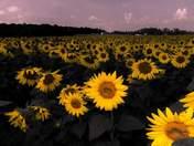 Evening Field of Dreams