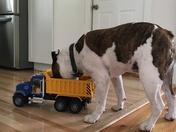 Henry the Bulldog