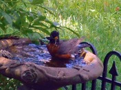 Robin in the bath.