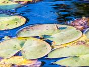 Lily Pad Bug
