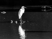 Great Egret in Black & White