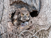 Mother Great Horned Owl and Babies