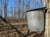 Old Style Sugar Bush