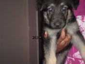 My German Shepherd puppy