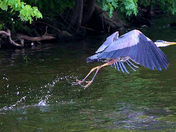 Blue Heron at Pinchot
