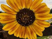 My sunflower!