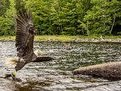 amazing bald eagle fishing