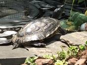 Butterflies Turtle