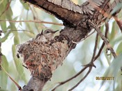 Broad-tailed hummingbird babies in nest!