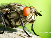 Flesh Fly Close Up