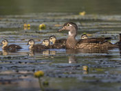 3d. Wood duck and her babies