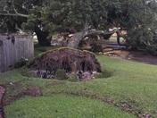 Downed Oak Tree