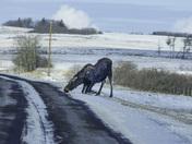 Moose licking salt
